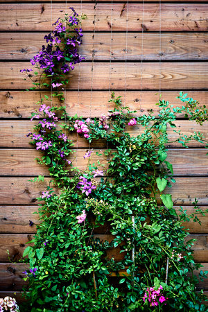 interior desing: Beautiful purple, pink and green climbing plant on a wooden wall in a garden with leaves