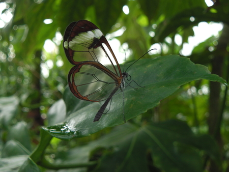 see through: See through butterfly