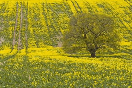 wiltshire: A field of rapeseed near to Willoughby Hedge in Wiltshire.
