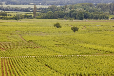 Vineyards near to the twon of Beaune in Burgundy, France  photo
