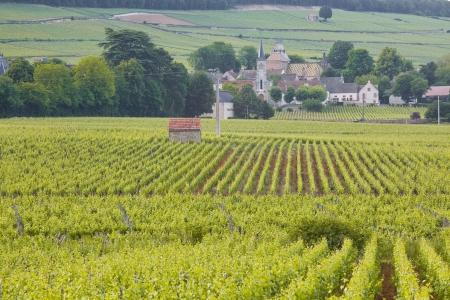 Kijkend door de wijngaarden in de richting van Aloxe-Corton in de Bourgogne Stockfoto