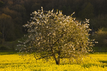 chinon: Tree and rapeseed field, Chinon, France.