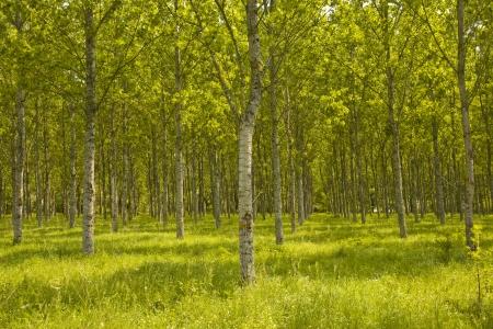 regimented: Trees near Fontaines-en-Sologne, Loir-et-Cher, Centre, France.