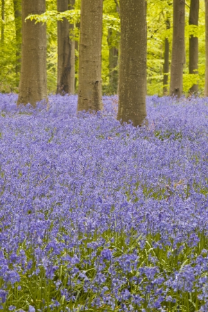 Bluebells amongst the beech trees of West woods, Wiltshire. photo