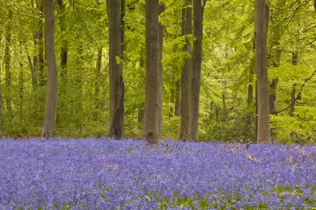 Bluebells amongst the beech trees of West woods, Wiltshire.