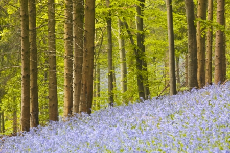 Delcombe Wood, Dorset, England, UK. photo