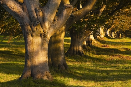 Kingston Lacy beech avenue in Dorset  photo