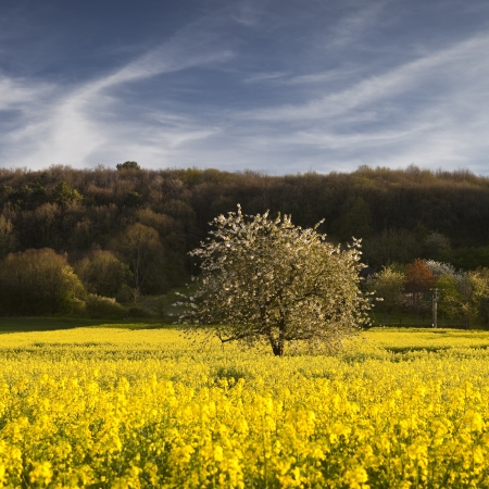 chinon: Tree and rapeseed field, Chinon, France