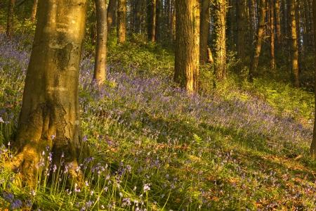 dorset: Bluebells on Langdon Hill, Dorset.