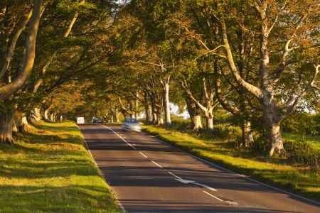 lacey: The beech avenue in Kingston Lacy, Dorset.