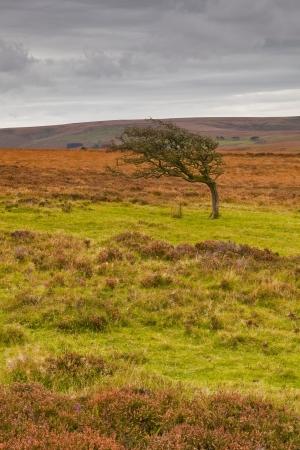 windswept: Single windswept tree on Dartmoor.