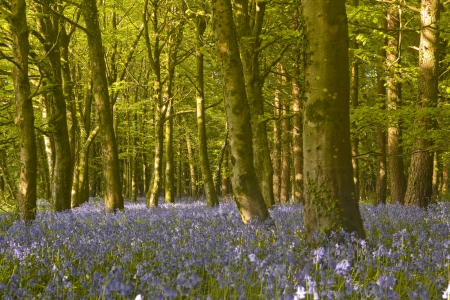 Bluebell wood in Dorset, England. photo
