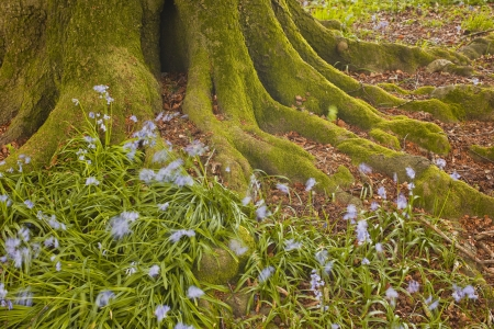 Tree stump surrounded by bluebells in Dorset.