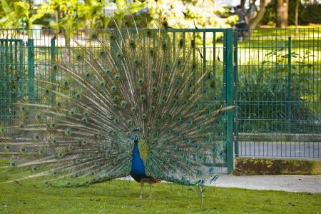 plummage: Pavo real extiende su plumaje.