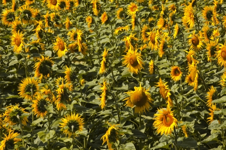 A field of sunflowers in the Loire Valley. Stock Photo - 14365724
