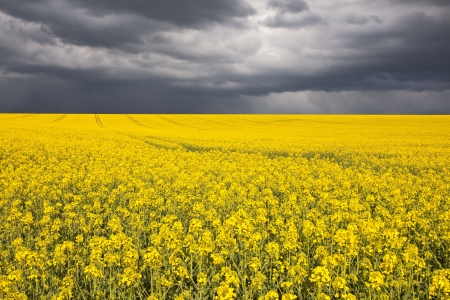 Koolzaad veld onder stormachtige luchten. Stockfoto