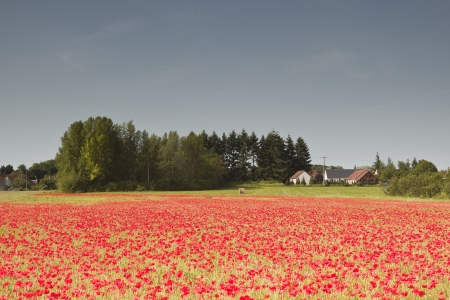 french countryside: A field of poppies in the French countryside  Stock Photo