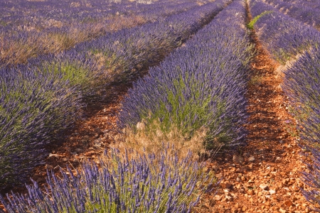 Rows of lavender near to Sault in Provence. photo