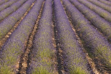 Lavnder fields near to Ferrassieres in the Drome. photo