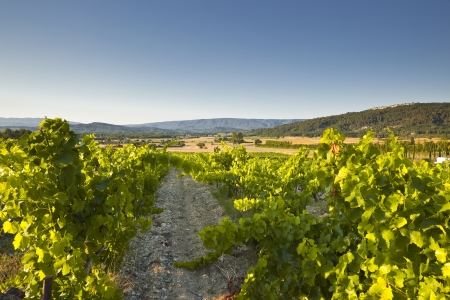 Vineyards near to Gordes in Provence. photo