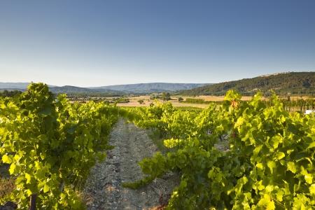 Vineyards near to Gordes in Provence. photo