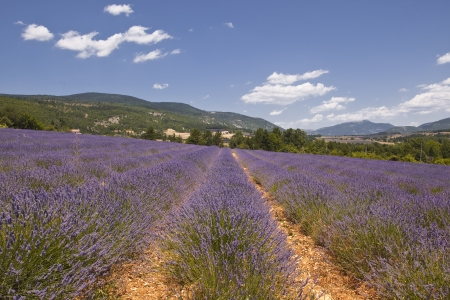 Lavdner near to Sault in Provence. photo