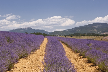 lavendin: Lavdner near to Sault in Provence.