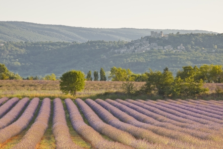 A single tree stands at the end of a lavender field in Provence  photo