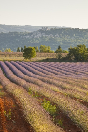 lavendin: A single tree stands at the end of a lavender field in Provence