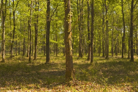regimented: Woodland in Sologne, France  Stock Photo