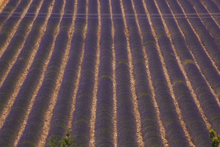 Lavender fields on the border of Drome and Alpes de Haute Provence  photo