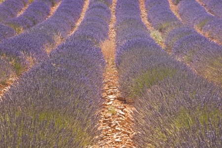 lavendin: A lavender field on the plateau de Valensole in Provence.