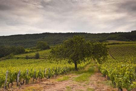 Een eenzame boom in de wijngaarden in de buurt van Macon, Frankrijk