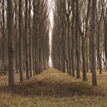 Rows of poplar trees in France. Stock Photo - 16581692
