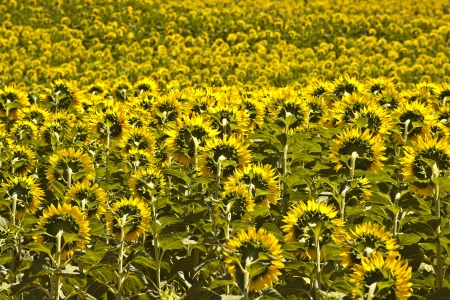 Sunflowers on the plateau de Valensole in Provence, France. photo