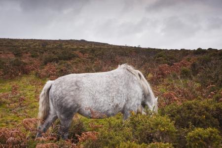 heathland: A horse in the heathland of Dartmoor. Stock Photo