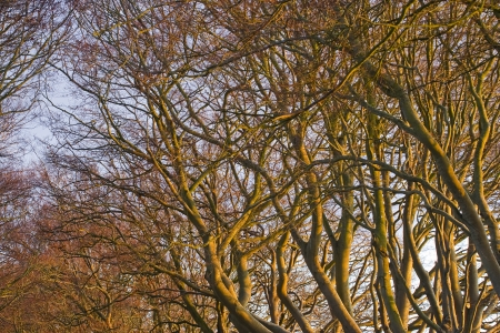 kingston: The beech avenue at Kingston Lacy in Dorset. Stock Photo
