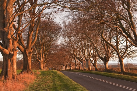 lacey: The beech avenue at Kingston Lacy in Dorset, England. Stock Photo