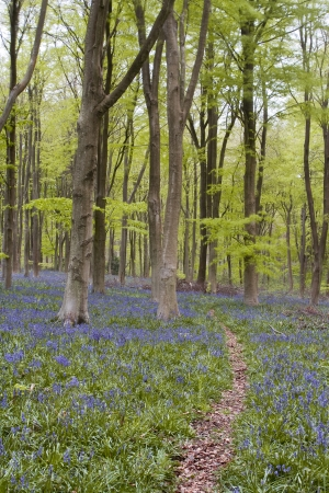 Bluebells under the beech trees of West Woods in Wiltshire.