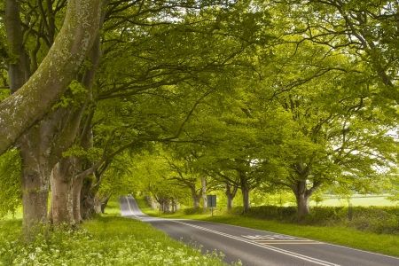 kingston: The beech avenue at Kingston Lacy in Dorset, England. Stock Photo