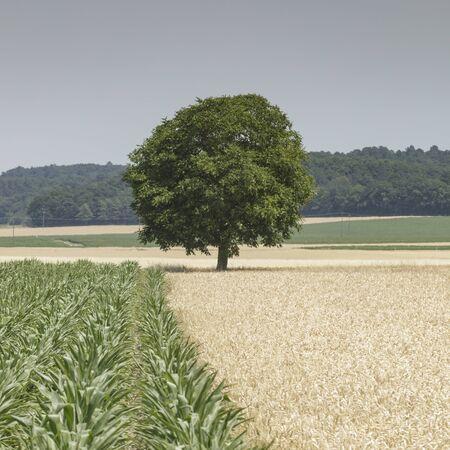 Lone tree in a field in the Loire Valley, France.