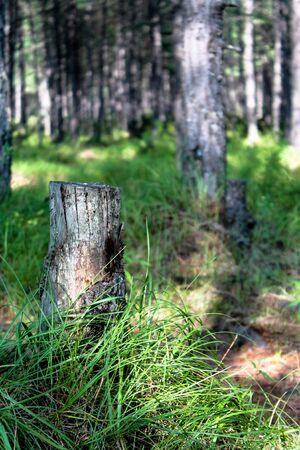 Old tree stump in the bright green forest bathed in sun light. Sawn off tree trunk among high green grass. Stub rooted to the ground. Environmental background or wallpaper