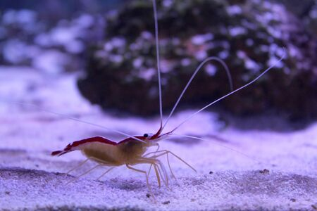 Marine background with small shrimp walking on the sea bottom. Sea and ocean life backdrop with blue water. Underwater inhabitant, side view. Diving, oceanarium or aquarium picture