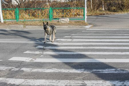 Vagrant dog crossing the road on the crosswalk alone. Errant canine animal on the street observing road laws. Concept of four-footed pedestrian obeying the human rules. Well educated pet. Autumn time