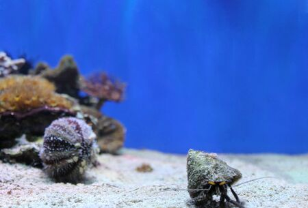 Marine background with funny little hermit crab looking at the camera. Reefs on the background. Copy space for text. Sea and ocean life backdrop with blue water. Underwater inhabitant Stockfoto