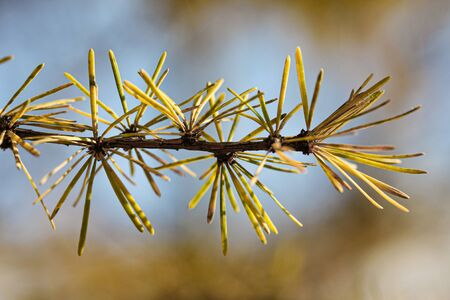 Larch branch with yellow and orange needles closeup macro photography. Autumn conifer in the forest or park
