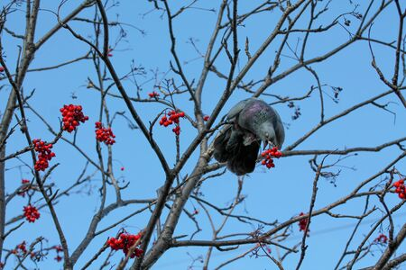 Pigeon sitting in the rowan tree and trying to eat berries. Autumn tree without leaves, with bright red and orange berry bunches and clusters. Grey animal bird. Blue sky background.