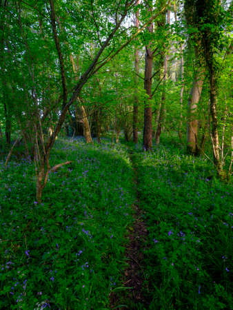 Spring evening light in the woods near Hoe Hate, South Downs, Hampshire, UK Stock Photo