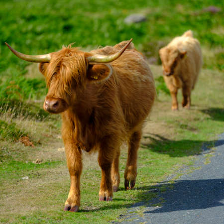 Highland Cattle on Dartmoor roam free and wide, Devon, UK