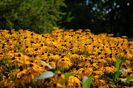 A field of yellow rudbeckia fulgida goldsturm flowers with trees on the background